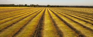 Field of flax (bent reeds)
